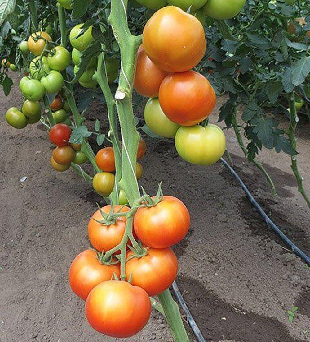 сколько по времени прорастают семена помидор